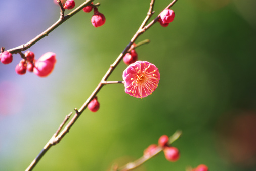 Plum blossom「Plum blossoms in early spring」:スマホ壁紙(8)