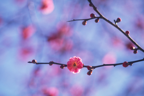 梅の花「梅、春」:スマホ壁紙(2)