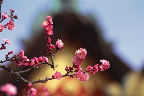 梅の花「Plum blossoms, Kitano Tenmangu Shrine, Kyoto Prefecture, Japan」:スマホ壁紙(9)