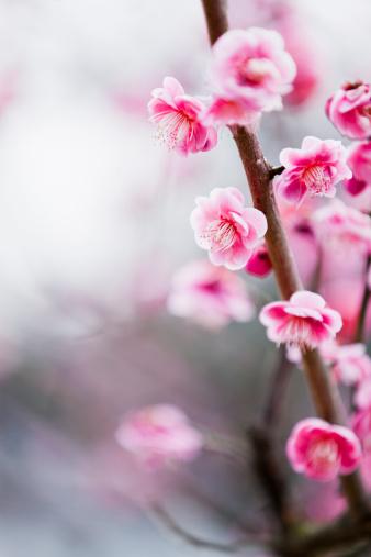 梅の花「梅の花」:スマホ壁紙(2)