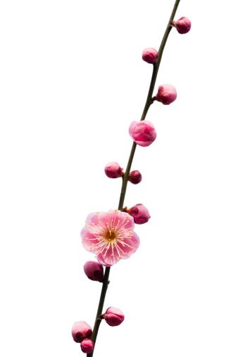 梅「梅の花」:スマホ壁紙(14)