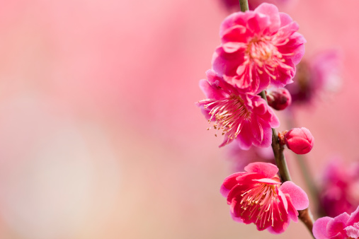 Bud「Plum Blossoms」:スマホ壁紙(11)