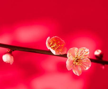 梅「梅の花」:スマホ壁紙(3)