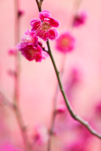 梅の花「梅の花」:スマホ壁紙(13)