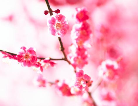 梅の花「梅の花」:スマホ壁紙(4)