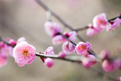 Bud「Plum Blossoms」:スマホ壁紙(9)