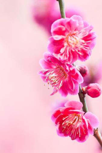 梅の花「梅の花」:スマホ壁紙(15)