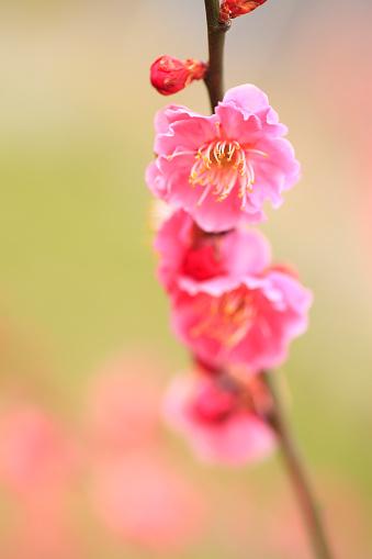 梅の花「Plum Blossoms」:スマホ壁紙(14)