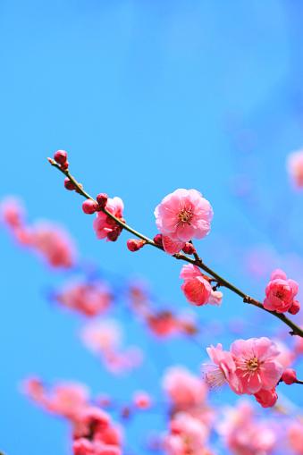 梅の花「Plum Blossoms」:スマホ壁紙(9)