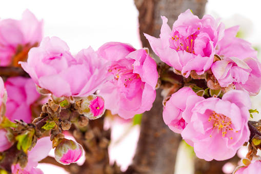 梅の花「Plum blossoms」:スマホ壁紙(5)