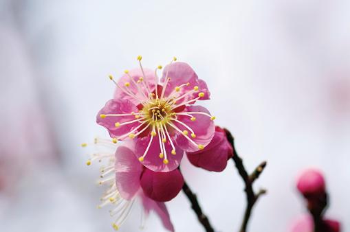 梅の花「Plum blossoms」:スマホ壁紙(15)