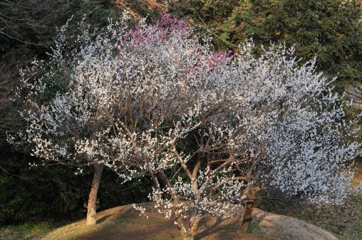 梅の花「Plum blossoms, Sakura City, Chiba Prefecture, Honshu, Japan」:スマホ壁紙(9)