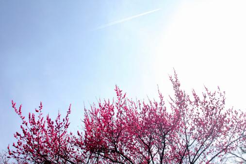 梅の花「Plum Blossoms」:スマホ壁紙(4)