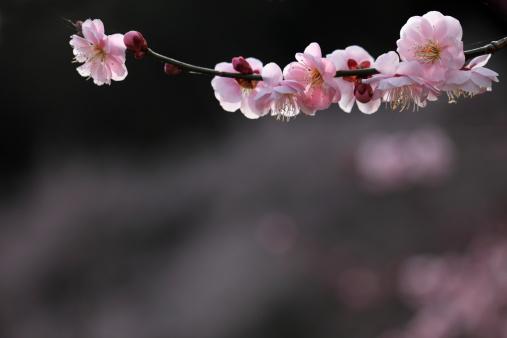 梅の花「Plum Blossoms」:スマホ壁紙(6)