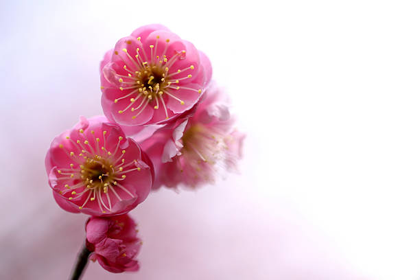 Plum Blossoms:スマホ壁紙(壁紙.com)