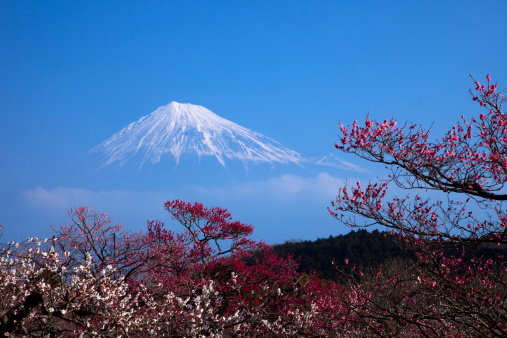 梅の花「Plum Blossom Tree and Mount Fuji」:スマホ壁紙(16)