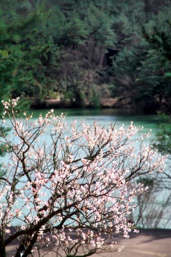 梅の花「Plum Blossom Tree Near Pond」:スマホ壁紙(1)