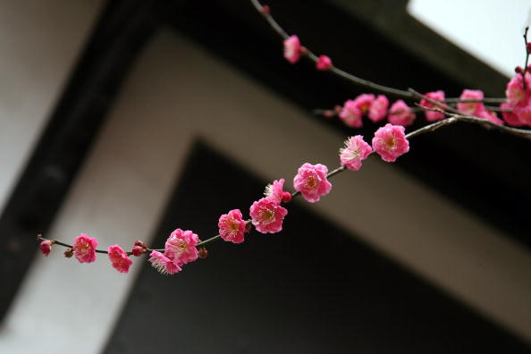 梅の花「Plum Blossom At Kitano Tenmangu Shrine」:写真・画像(1)[壁紙.com]