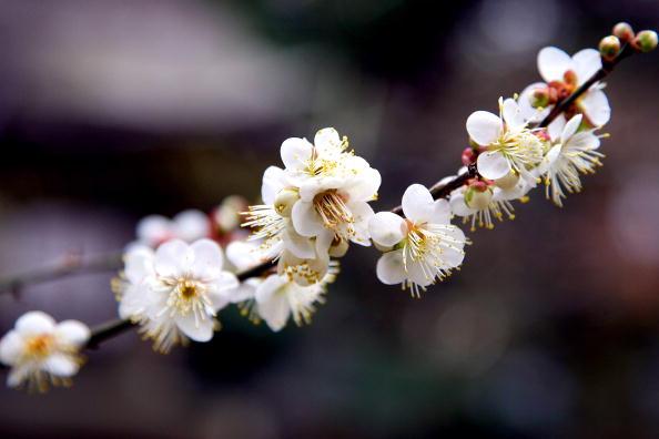 梅の花「Plum Blossom At Kitano Tenmangu Shrine」:写真・画像(3)[壁紙.com]