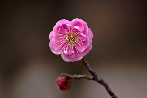 梅の花「Plum blossom flower head, close-up」:スマホ壁紙(8)