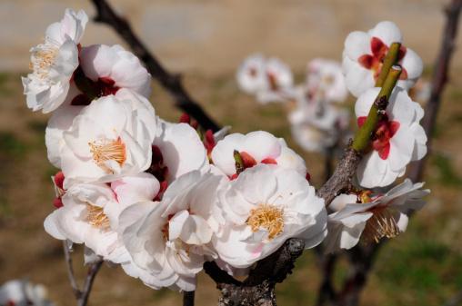 梅の花「Plum Blossoms」:スマホ壁紙(18)