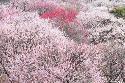 梅の花「Plum blossoms, Kairakuen, Ibaraki Prefecture, Japan」:スマホ壁紙(4)