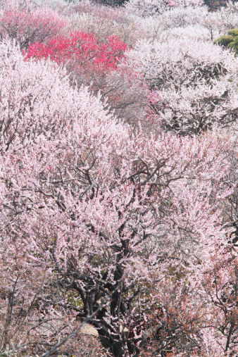 梅の花「Plum blossoms, Kairakuen, Ibaraki Prefecture, Japan」:スマホ壁紙(3)