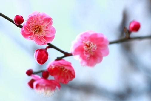 梅の花「Plum Blossoms, Tokyo, Japan」:スマホ壁紙(5)