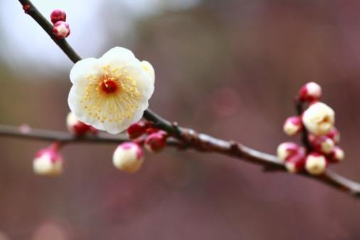 梅の花「Plum Blossoms, Tokyo, Japan」:スマホ壁紙(4)