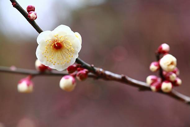 Plum Blossoms, Tokyo, Japan:スマホ壁紙(壁紙.com)