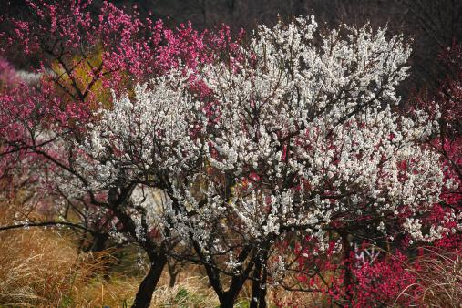 プラムの木「Plum Blossom Tree」:スマホ壁紙(8)