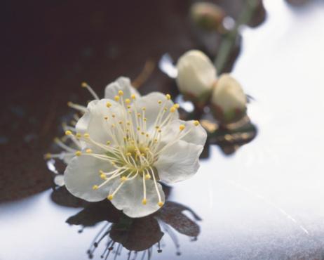 梅の花「Plum blossoms, close up」:スマホ壁紙(8)