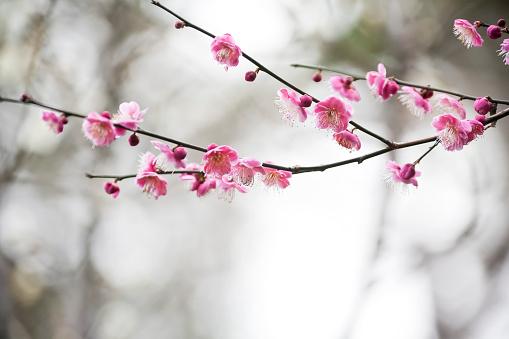 梅の花「梅の花」:スマホ壁紙(11)