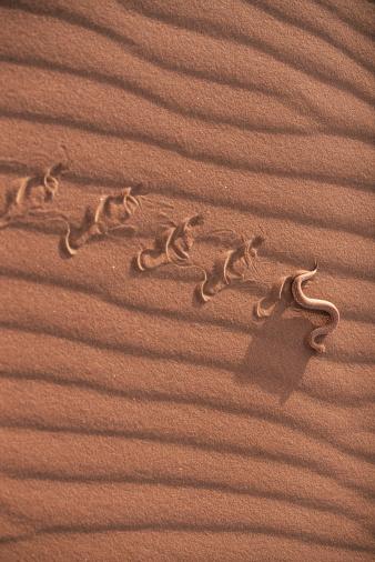 Namib-Naukluft National Park「Dwarf puff adder (Bitis peringuayi) Namib-Naukluft Park, Namibia」:スマホ壁紙(9)