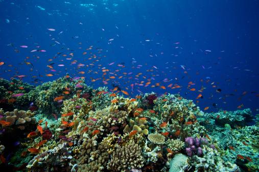 Soft Coral「A school of orange basslets (Pseudanthias squamipinnis) on a healthy Fijian reef.」:スマホ壁紙(13)