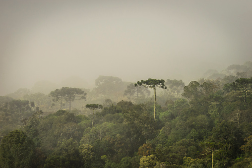 Grove「Araucaria Forest」:スマホ壁紙(16)