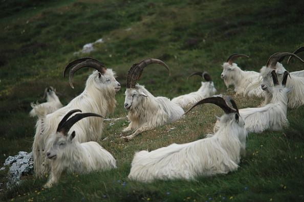 Goat「Resting Goats」:写真・画像(16)[壁紙.com]