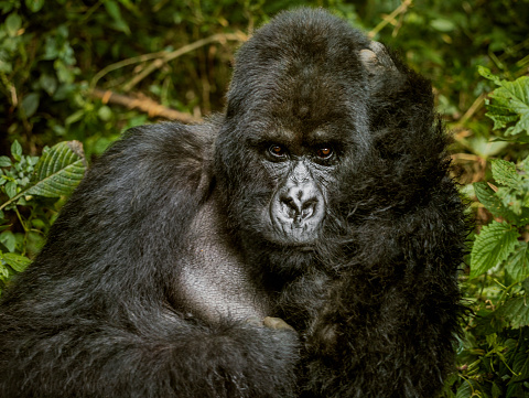 Frowning「Potrait of an adult mountain gorilla sitting with its hand supporting his head.」:スマホ壁紙(3)