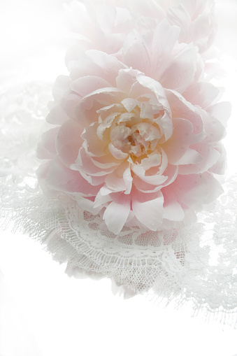 flower「Pale pink peony and white lace ribbon」:スマホ壁紙(9)