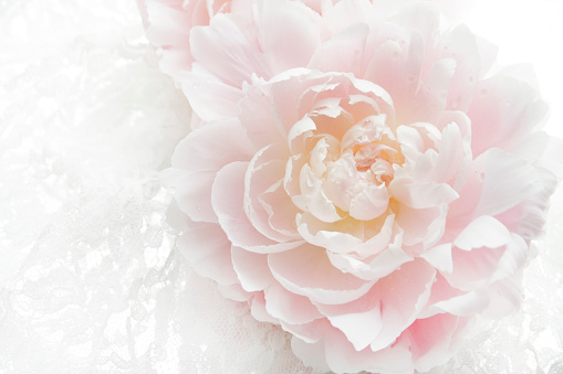 Fragility「Pale pink peony, with water drops on petal」:スマホ壁紙(18)