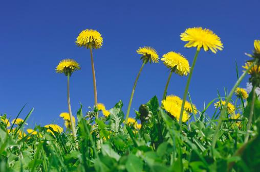 たんぽぽ「Meadow of dandelions, Taraxacum officinale, in front of blue sky」:スマホ壁紙(19)