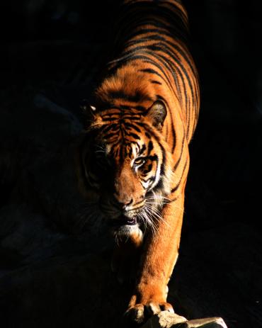 虎「タイガー」:スマホ壁紙(7)
