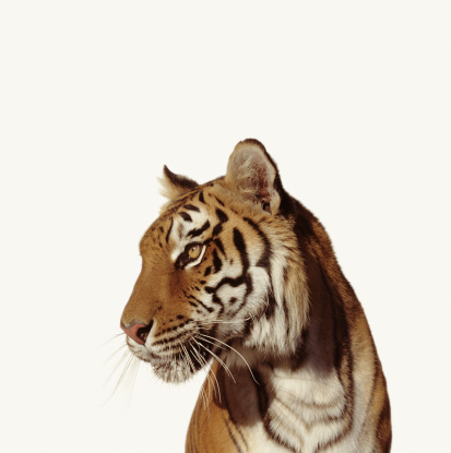Looking Away「Tiger (Panthera tigirs)」:スマホ壁紙(18)