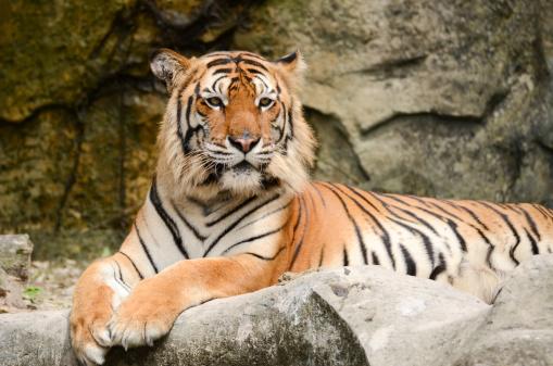 虎「タイガーます。」:スマホ壁紙(13)
