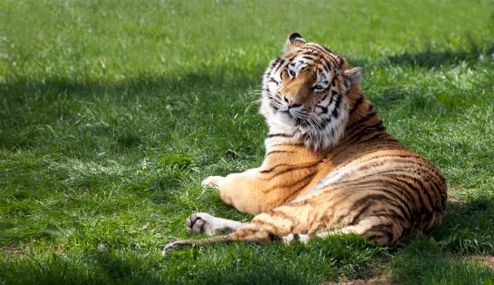 虎「Tiger」:スマホ壁紙(14)