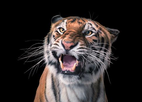 Furious「Tiger」:スマホ壁紙(11)