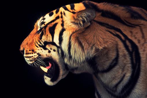 Staring「Tiger」:スマホ壁紙(13)