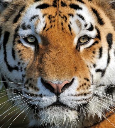 Endangered Species「tiger」:スマホ壁紙(5)