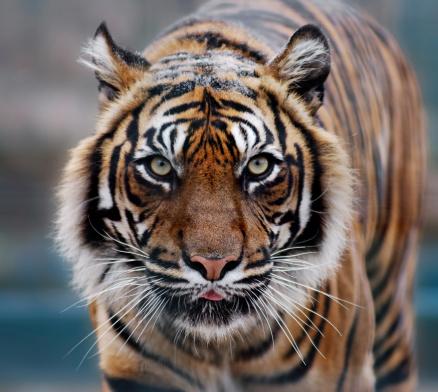 Tiger「tiger」:スマホ壁紙(13)