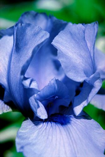 Iris - Eye「Blue Bearded iris」:スマホ壁紙(18)